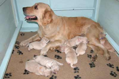 getting ready for golden retriever puppies delivery